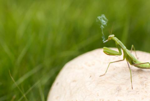 Grasshopper Smoking